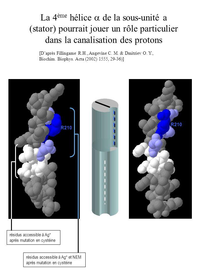 La 4 ème hélice de la sous-unité a (stator) pourrait jouer un rôle particulier dans la canalisation des protons [Daprès Fillingame R.H., Angevine C. M
