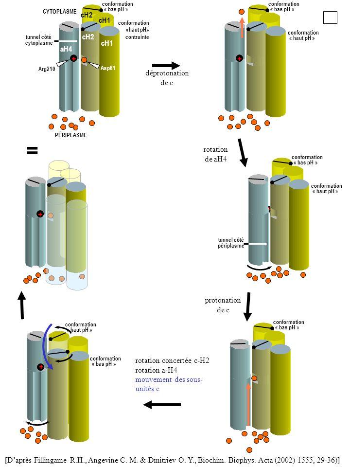 [Daprès Fillingame R.H., Angevine C. M. & Dmitriev O. Y., Biochim. Biophys. Acta (2002) 1555, 29-36)] rotation concertée c-H2 rotation a-H4 mouvement