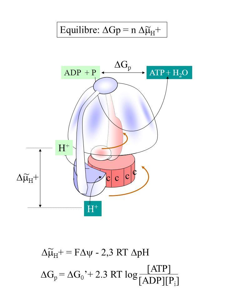 H+H+ H+H+ ADP + PATP + H 2 O H + G p c c c c H + = F - 2,3 RT pH G p = G 0 + 2.3 RT log [ATP] [ADP][P i ] Equilibre: Gp = n H + ~ ~ ~