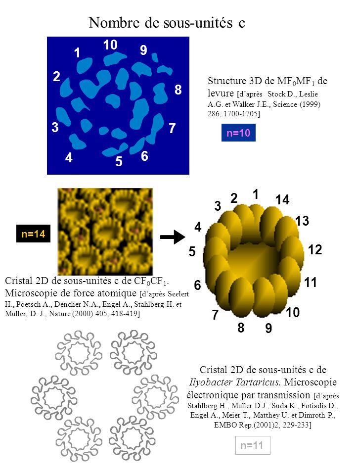 1 2 3 4 5 6 7 8 9 10 Nombre de sous-unités c Structure 3D de MF 0 MF 1 de levure [daprès Stock D., Leslie A.G. et Walker J.E., Science (1999) 286, 170
