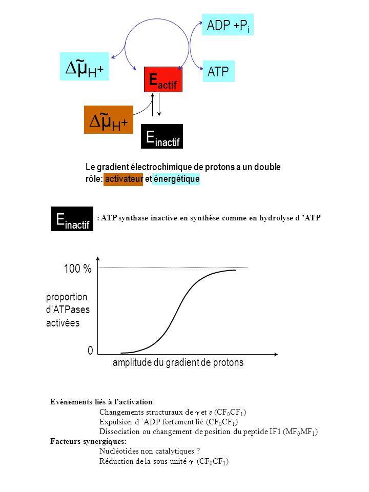 E inactif E actif µ H + ~ ~ ADP +P i ATP Le gradient électrochimique de protons a un double rôle: activateur et énergétique Evènements liés à lactivat