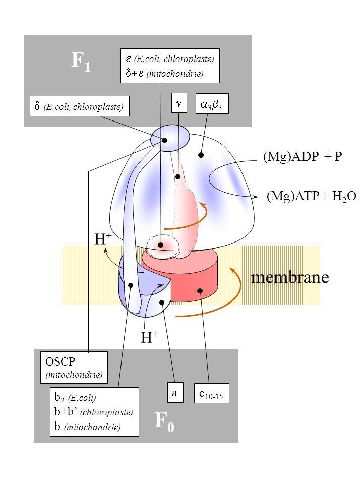 3 (E.coli, chloroplaste) (mitochondrie) (E.coli, chloroplaste) b 2 (E.coli) b+b (chloroplaste) b (mitochondrie) a c 10-15 H+H+ H+H+ F1F1 F0F0 (Mg)ADP