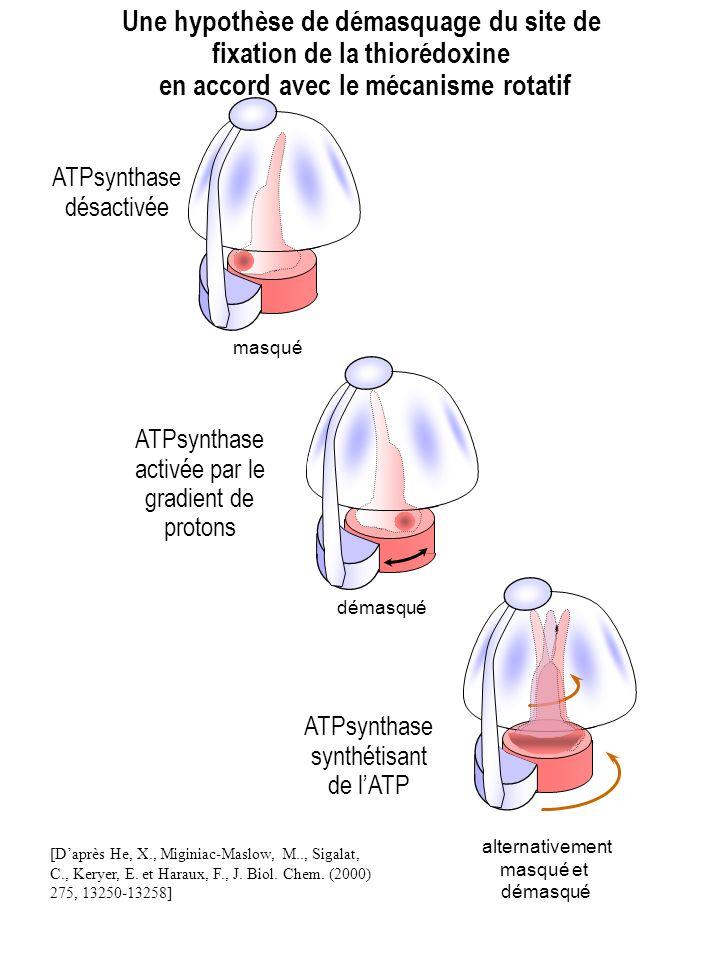masqué ATPsynthase désactivée démasqué ATPsynthase activée par le gradient de protons Une hypothèse de démasquage du site de fixation de la thiorédoxi