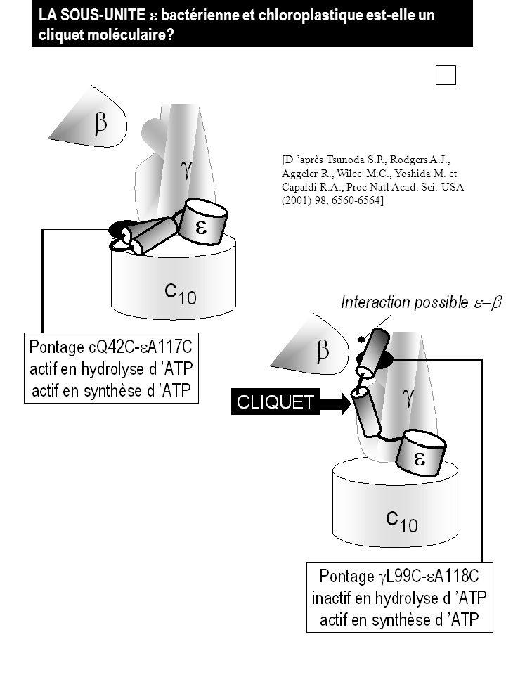 LA SOUS-UNITE bactérienne et chloroplastique est-elle un cliquet moléculaire? [D après Tsunoda S.P., Rodgers A.J., Aggeler R., Wilce M.C., Yoshida M.