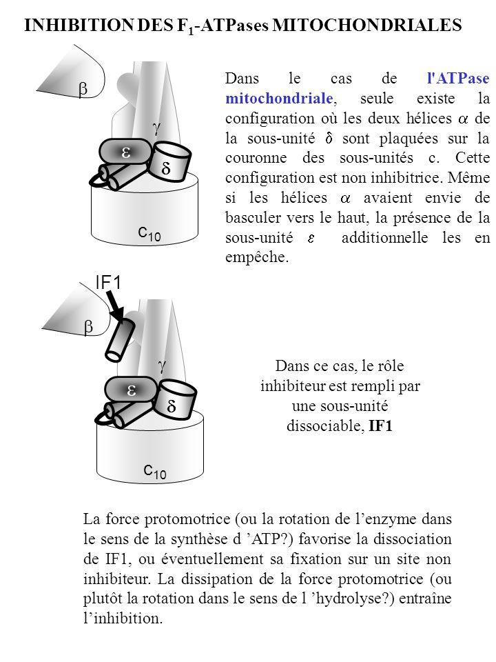 c 10 c 10 IF1 Dans le cas de l'ATPase mitochondriale, seule existe la configuration où les deux hélices de la sous-unité sont plaquées sur la couronne