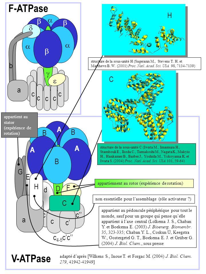 c c c c c b F-ATPase a V-ATPase c c A B B c c G E d F A A D B c c C H a c 4-5 cc adapté daprès [Wilkens S., Inoue T. et Forgac M. (2004) J. Biol. Chem