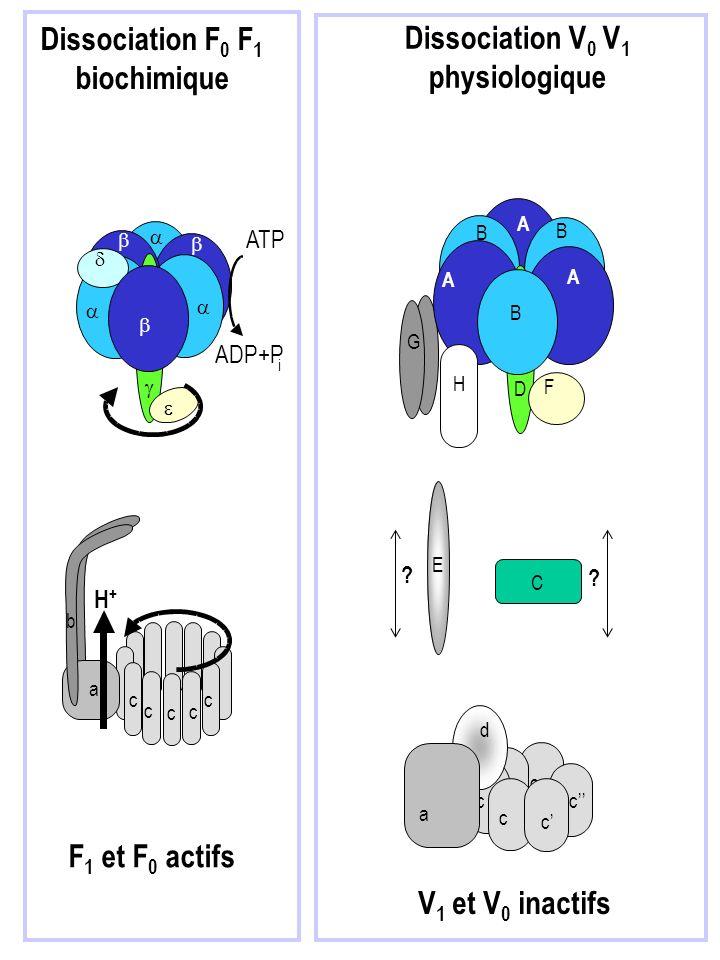 c c c c c a b F 1 et F 0 actifs Dissociation F 0 F 1 biochimique c c c c c a b H + ATP i ADP+P c c A B B c c G E d F A A D B c c C H a Dissociation V