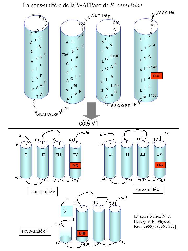 côté V1 La sous-unité c de la V-ATPase de S. cerevisiae E137 A A G I I I Y G L V 70V S S V V L C Y A K S G V GICATCVLRP D L50 L F K T G N I V P Y A A