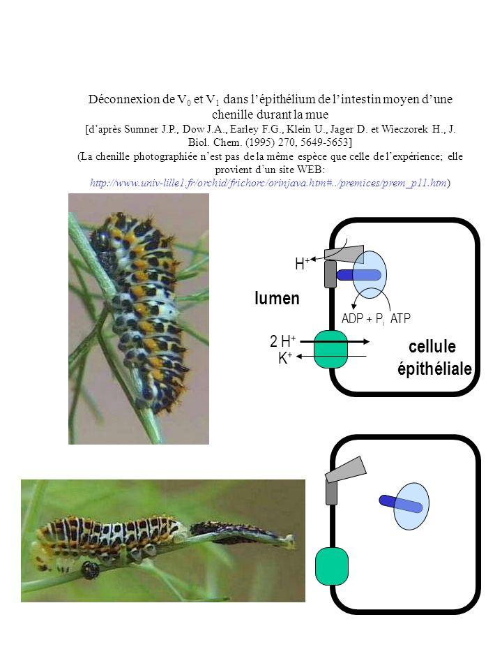 lumen ATPADP + P i H+H+ 2 H + K+K+ cellule épithéliale Déconnexion de V 0 et V 1 dans lépithélium de lintestin moyen dune chenille durant la mue [dapr