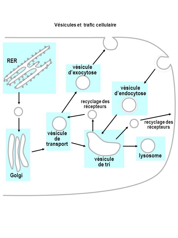 RER Golgi vésicule de tri lysosome vésicule dendocytose vésicule dexocytose recyclage des récepteurs vésicule de transport recyclage des récepteurs Vé