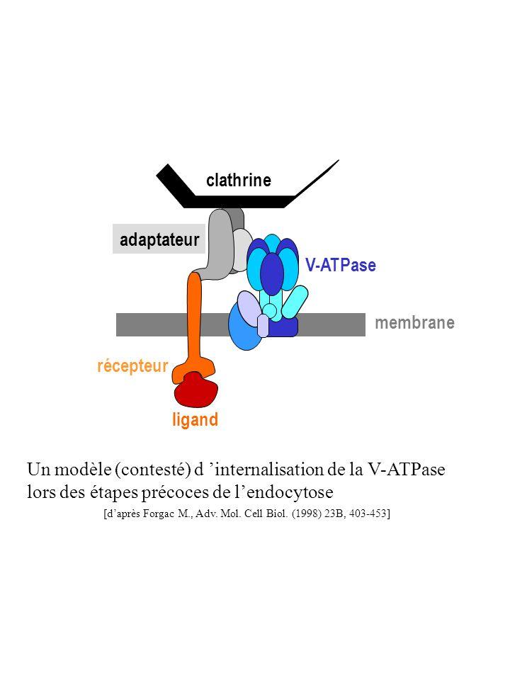 clathrine récepteur ligand membrane adaptateur V-ATPase Un modèle (contesté) d internalisation de la V-ATPase lors des étapes précoces de lendocytose