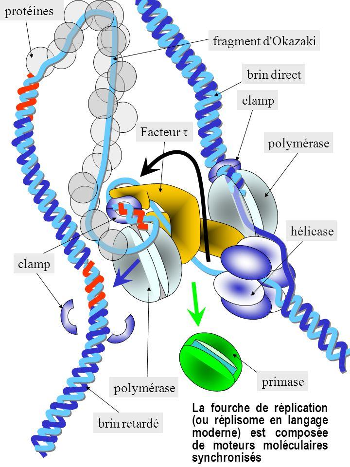 brin retardé brin direct protéines fragment d'Okazaki polymérase clamp Facteur primase polymérase hélicase La fourche de réplication (ou réplisome en
