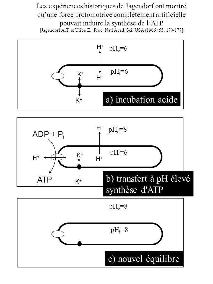 H+H+ H+H+ pH e =6 pH i =6 K+K+ K+K+ a) incubation acide H+H+ H+H+ pH e =8 pH i =6 K+K+ K+K+ ADP + P i ATP H+H+ b) transfert à pH élevé synthèse d'ATP