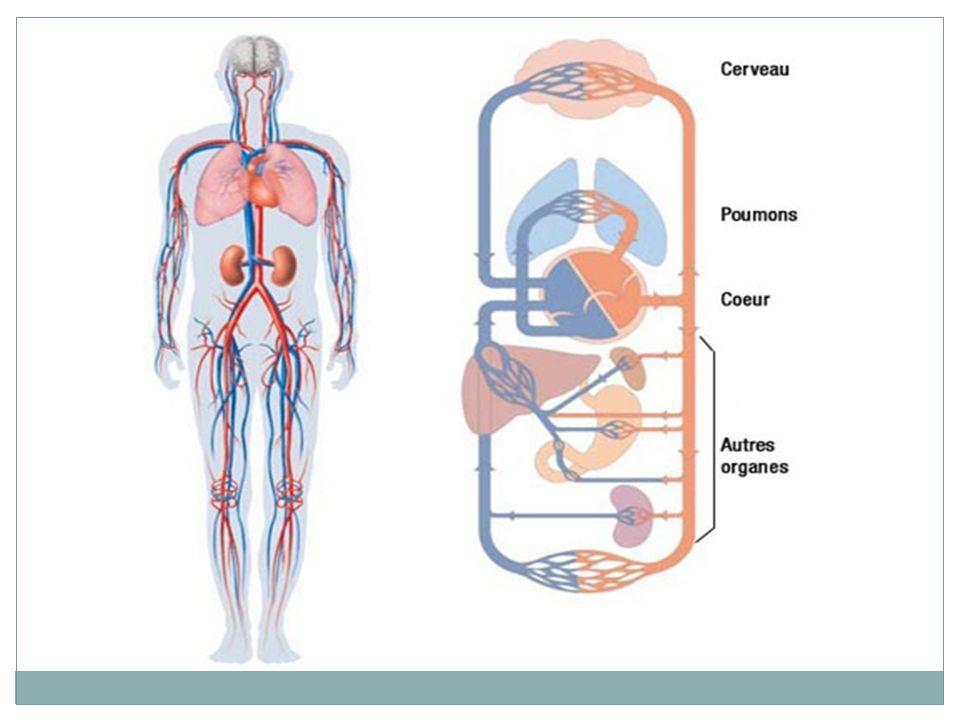 RAPPEL: Une artère part du cœur Une veine va au coeur Artères, veines et capillaires possèdent une structure bien distincte.