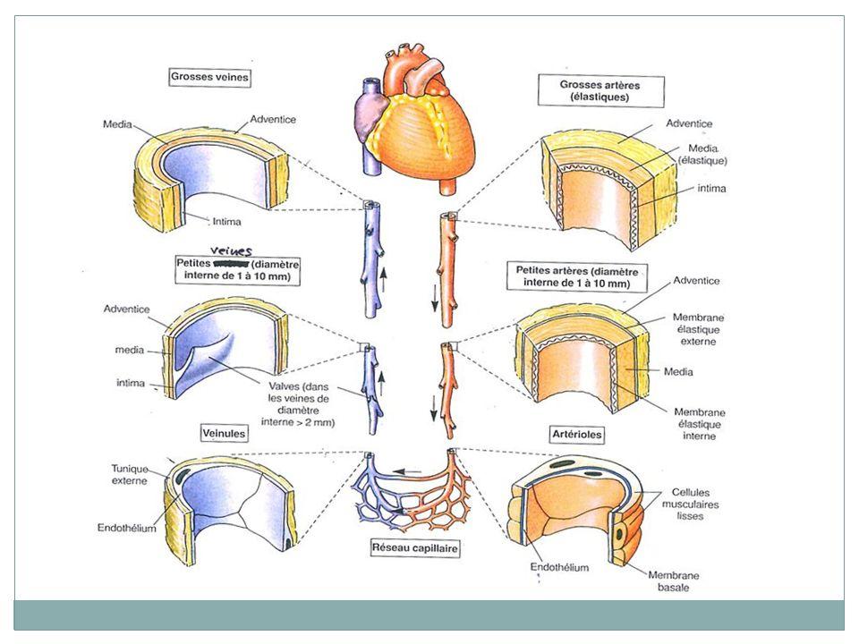 HEMOSTASE : Les facteurs anticoagulants Ils inhibent les facteurs de la coagulation.