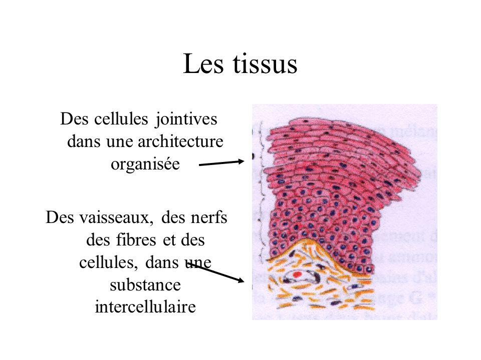 Les tissus Des cellules jointives dans une architecture organisée Des vaisseaux, des nerfs des fibres et des cellules, dans une substance intercellula