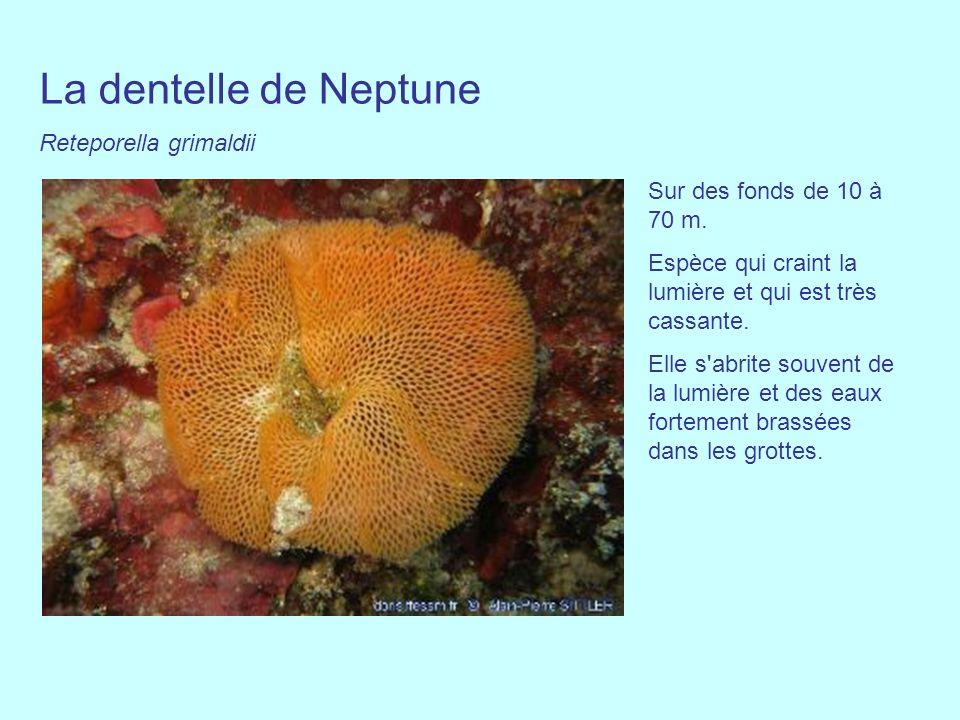 La dentelle de Neptune Reteporella grimaldii Sur des fonds de 10 à 70 m. Espèce qui craint la lumière et qui est très cassante. Elle s'abrite souvent