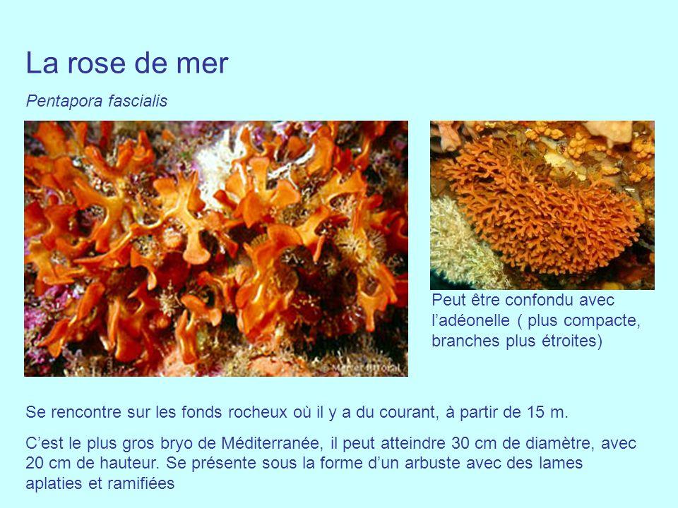 La rose de mer Pentapora fascialis Se rencontre sur les fonds rocheux où il y a du courant, à partir de 15 m. Cest le plus gros bryo de Méditerranée,