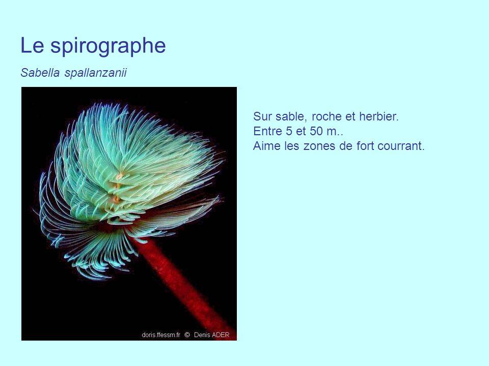 Le spirographe Sabella spallanzanii Sur sable, roche et herbier. Entre 5 et 50 m.. Aime les zones de fort courrant.