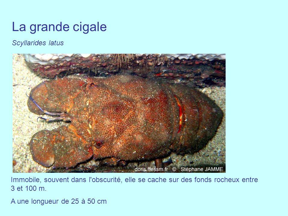 La grande cigale Scyllarides latus Immobile, souvent dans l'obscurité, elle se cache sur des fonds rocheux entre 3 et 100 m. A une longueur de 25 à 50