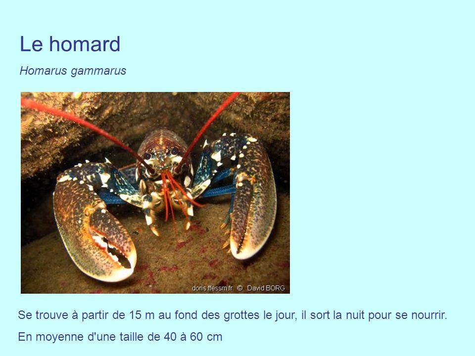 Se trouve à partir de 15 m au fond des grottes le jour, il sort la nuit pour se nourrir. En moyenne d'une taille de 40 à 60 cm Le homard Homarus gamma