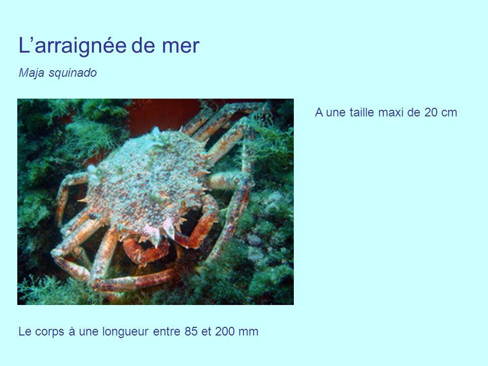 Larraignée de mer Maja squinado Le corps à une longueur entre 85 et 200 mm A une taille maxi de 20 cm