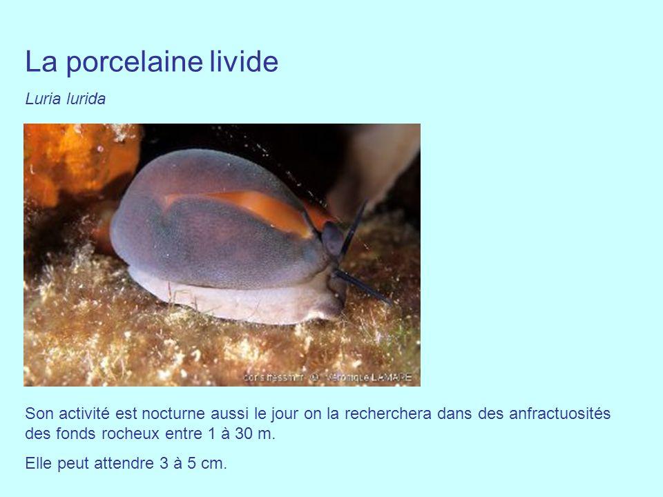 La porcelaine livide Luria lurida Son activité est nocturne aussi le jour on la recherchera dans des anfractuosités des fonds rocheux entre 1 à 30 m.