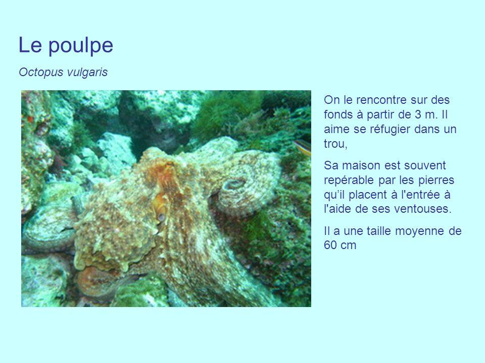 Le poulpe Octopus vulgaris On le rencontre sur des fonds à partir de 3 m. Il aime se réfugier dans un trou, Sa maison est souvent repérable par les pi