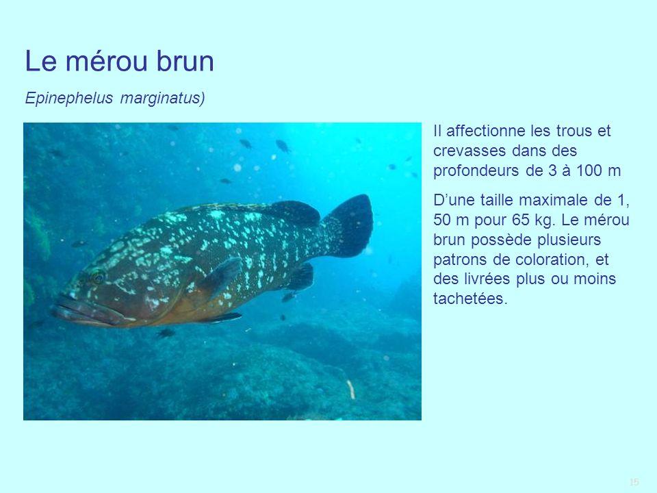 15 Le mérou brun Epinephelus marginatus) Il affectionne les trous et crevasses dans des profondeurs de 3 à 100 m Dune taille maximale de 1, 50 m pour