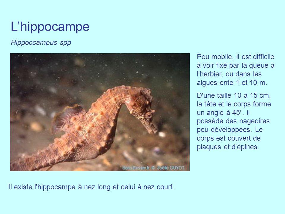 Lhippocampe Hippoccampus spp Peu mobile, il est difficile à voir fixé par la queue à l'herbier, ou dans les algues ente 1 et 10 m. D'une taille 10 à 1