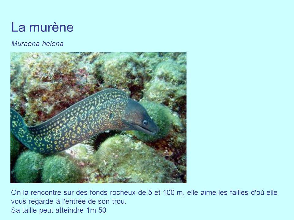 La murène Muraena helena On la rencontre sur des fonds rocheux de 5 et 100 m, elle aime les failles d'où elle vous regarde à l'entrée de son trou. Sa