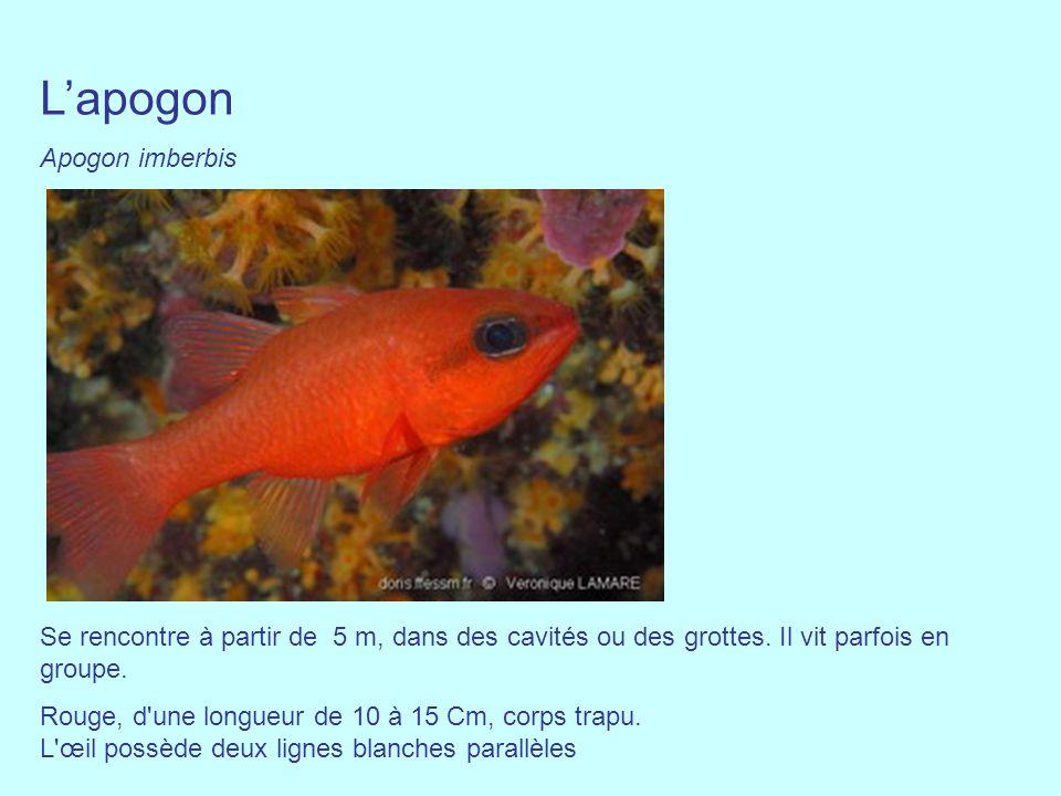 Lapogon Apogon imberbis Se rencontre à partir de 5 m, dans des cavités ou des grottes. Il vit parfois en groupe. Rouge, d'une longueur de 10 à 15 Cm,