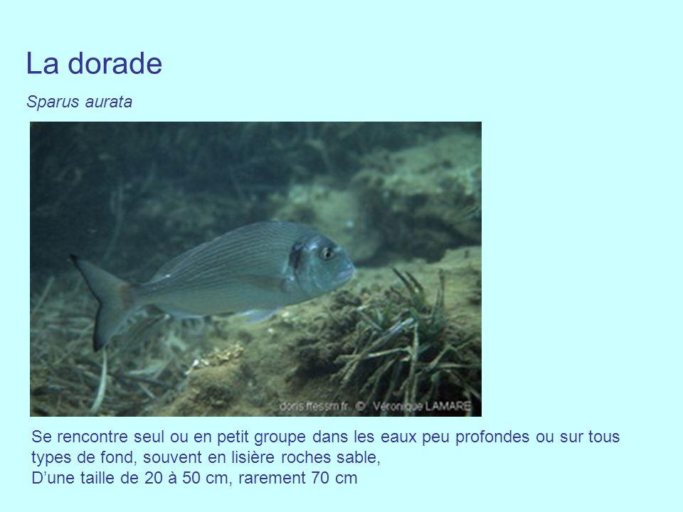 La dorade Sparus aurata Se rencontre seul ou en petit groupe dans les eaux peu profondes ou sur tous types de fond, souvent en lisière roches sable, D