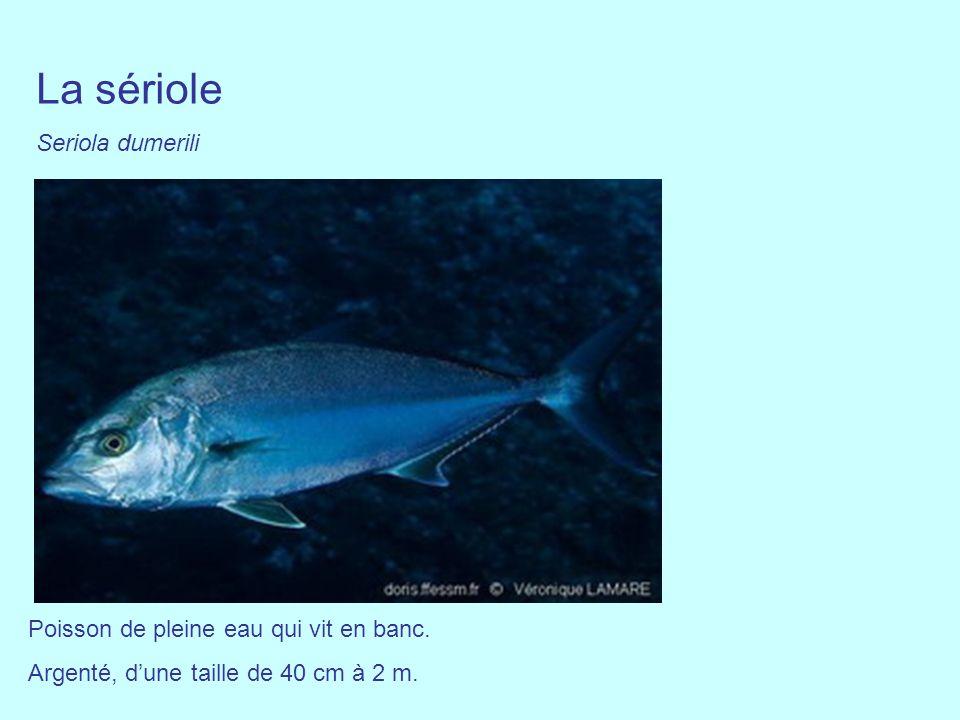 La sériole Seriola dumerili Poisson de pleine eau qui vit en banc. Argenté, dune taille de 40 cm à 2 m.