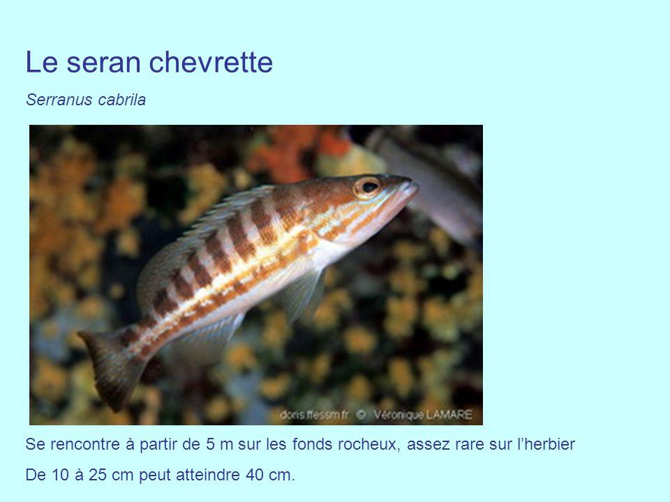 Le seran chevrette Serranus cabrila Se rencontre à partir de 5 m sur les fonds rocheux, assez rare sur lherbier De 10 à 25 cm peut atteindre 40 cm.