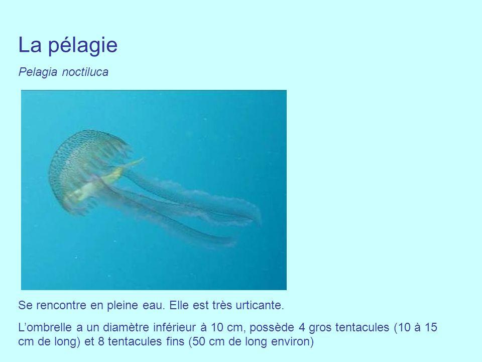 La pélagie Pelagia noctiluca Se rencontre en pleine eau. Elle est très urticante. Lombrelle a un diamètre inférieur à 10 cm, possède 4 gros tentacules