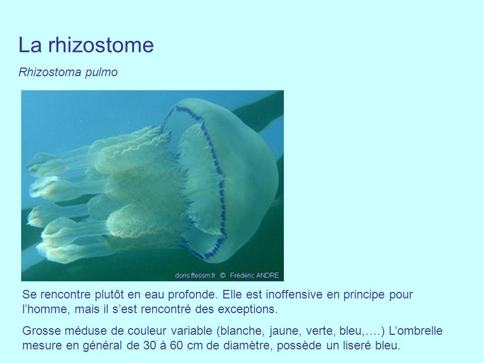 La rhizostome Rhizostoma pulmo Se rencontre plutôt en eau profonde. Elle est inoffensive en principe pour lhomme, mais il sest rencontré des exception