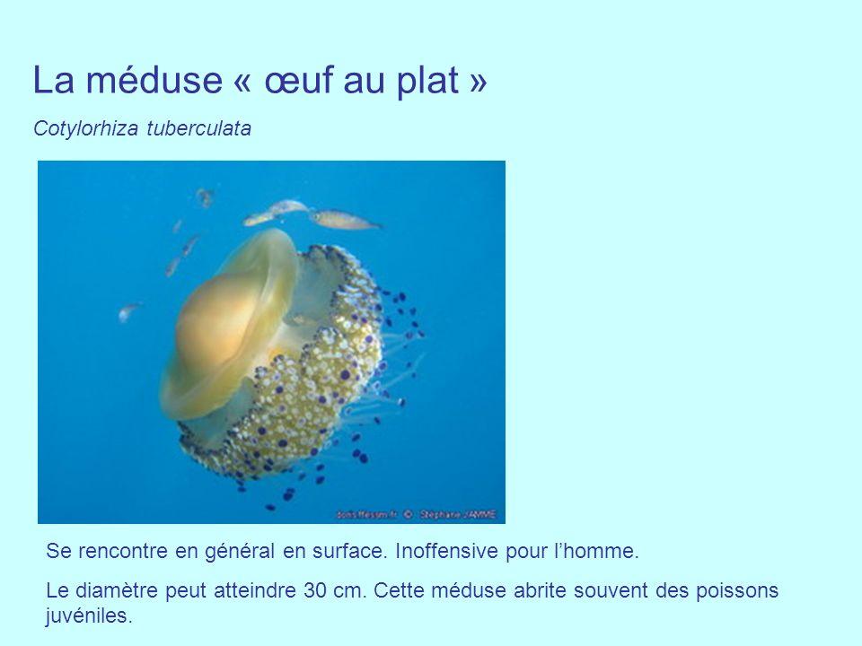 La méduse « œuf au plat » Cotylorhiza tuberculata Se rencontre en général en surface. Inoffensive pour lhomme. Le diamètre peut atteindre 30 cm. Cette