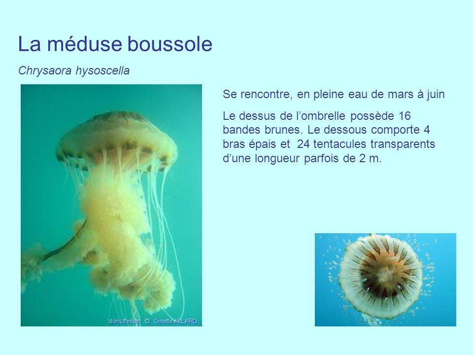 La méduse boussole Chrysaora hysoscella Se rencontre, en pleine eau de mars à juin Le dessus de lombrelle possède 16 bandes brunes. Le dessous comport