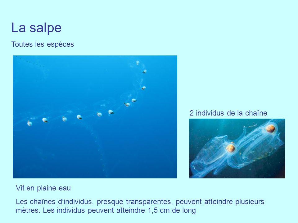La salpe Toutes les espèces 2 individus de la chaîne Vit en plaine eau Les chaînes dindividus, presque transparentes, peuvent atteindre plusieurs mètr