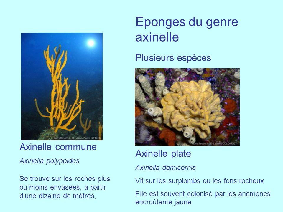 Axinelle commune Axinella polypoides Se trouve sur les roches plus ou moins envasées, à partir dune dizaine de mètres, Eponges du genre axinelle Plusi
