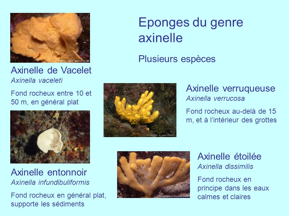 Axinelle de Vacelet Axinella vaceleti Fond rocheux entre 10 et 50 m, en général plat Eponges du genre axinelle Plusieurs espèces Axinelle entonnoir Ax