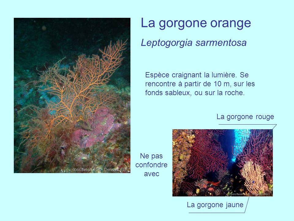 La gorgone orange Leptogorgia sarmentosa Ne pas confondre avec Espèce craignant la lumière. Se rencontre à partir de 10 m, sur les fonds sableux, ou s