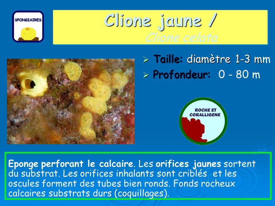 Clione jaune / Clione jaune / Clione celata Taille: diamètre 1-3 m Taille: diamètre 1-3 mm Profondeur: Profondeur: 0 - 80 m Eponge perforant le calcai