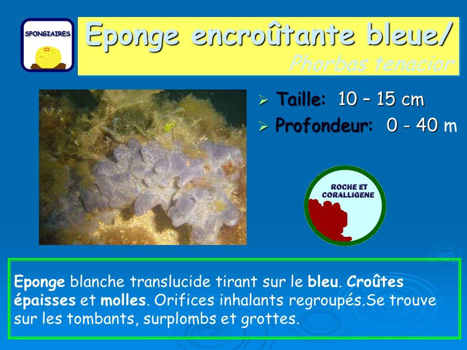 Eponge encroûtante bleue/ Eponge encroûtante bleue/ Phorbas tenacior Taille: 10 – 15 cm Taille: 10 – 15 cm Profondeur: 0 - 40 Profondeur: 0 - 40 m Epo