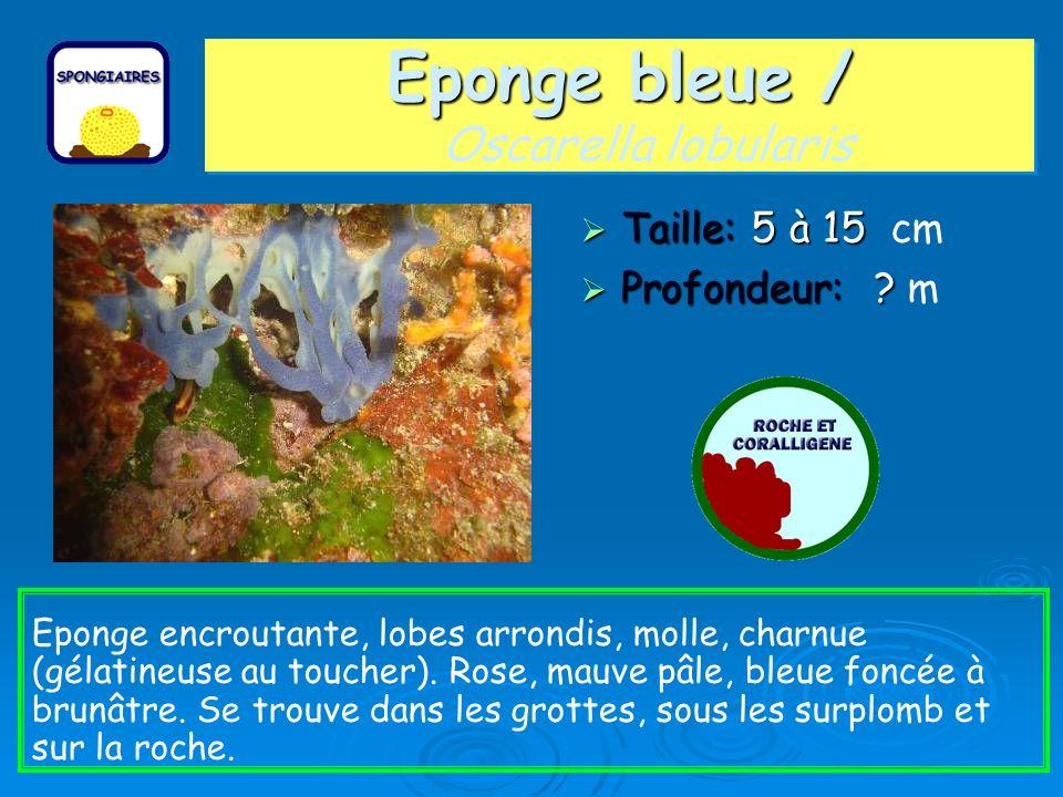 Eponge bleue / Eponge bleue / Oscarella lobularis Taille: 5 à 15 Taille: 5 à 15 cm Profondeur: ? Profondeur: ? m Eponge encroutante, lobes arrondis, m