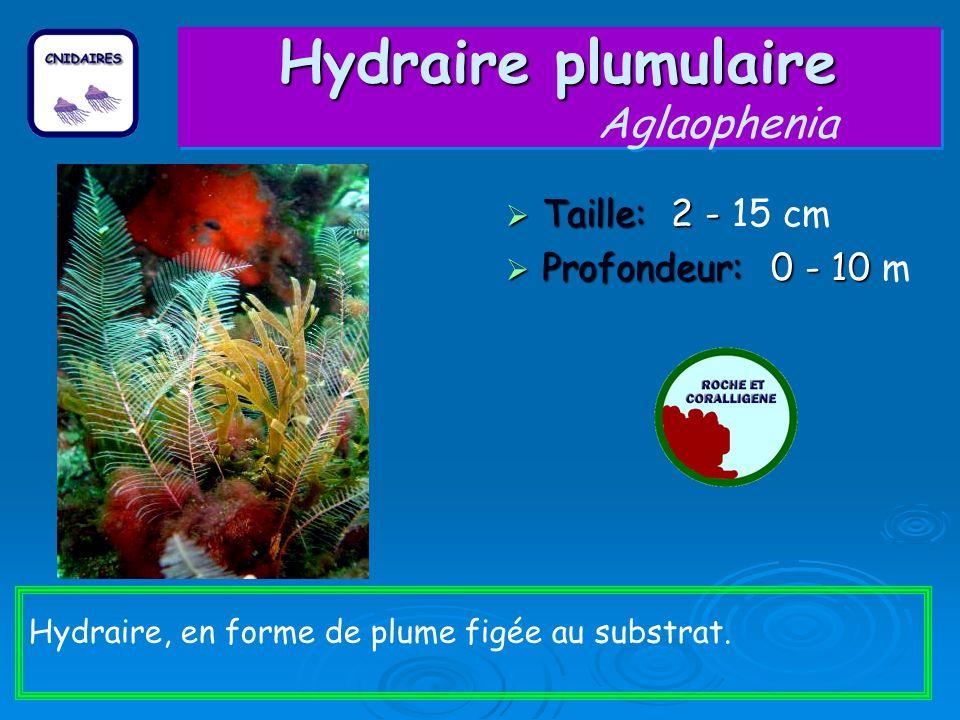 Hydraire plumulaire Hydraire plumulaire Aglaophenia Taille: 2 - Taille: 2 - 15 cm Profondeur: 0 - 10 Profondeur: 0 - 10 m Hydraire, en forme de plume