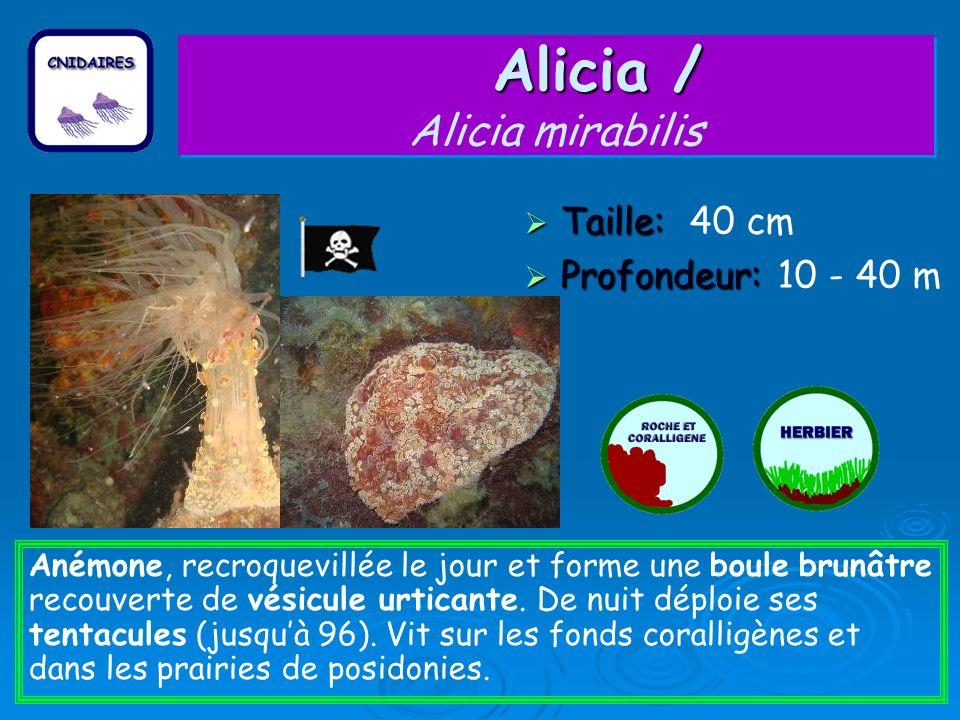 Alicia / Alicia / Alicia mirabilis Taille: Taille: 40 cm Profondeur: Profondeur: 10 - 40 m Anémone, recroquevillée le jour et forme une boule brunâtre