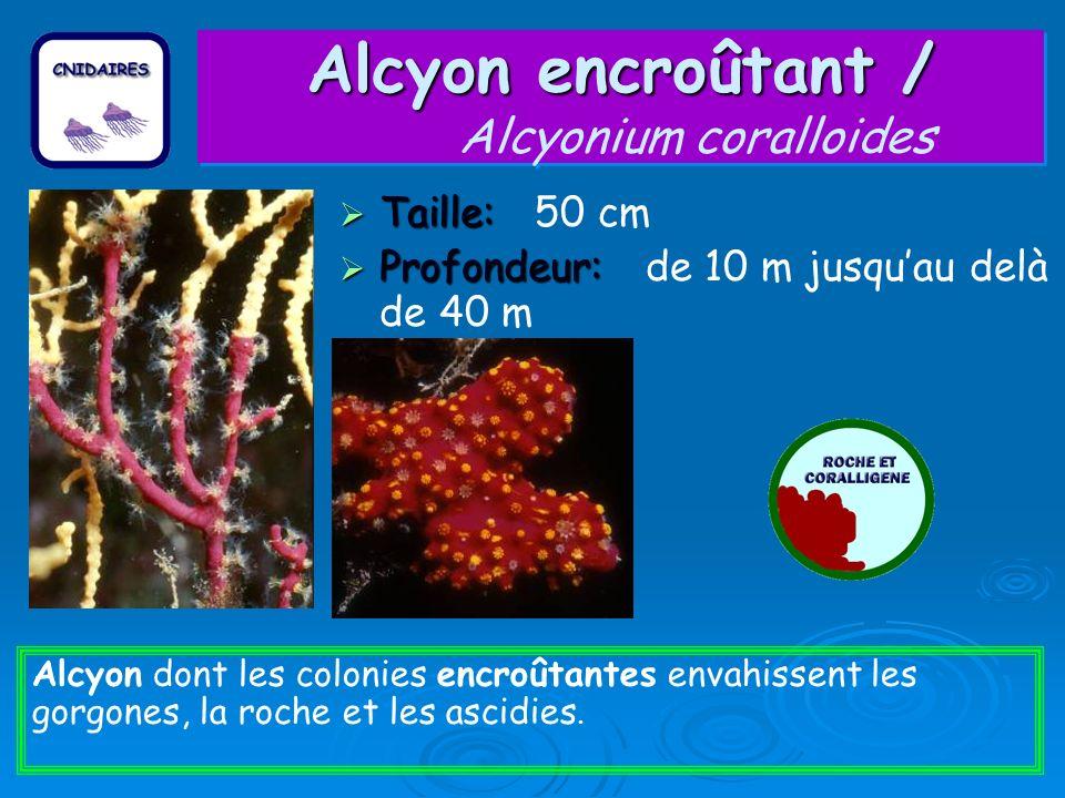 Alcyon encroûtant / Alcyon encroûtant / Alcyonium coralloides Taille: Taille: 50 cm Profondeur: Profondeur: de 10 m jusquau delà de 40 m Alcyon dont l