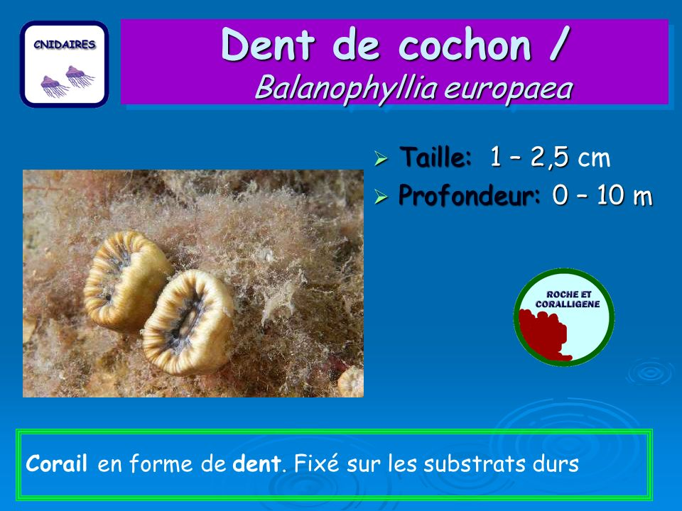 Dent de cochon / Balanophyllia europaea Taille: 1 – 2,5 Taille: 1 – 2,5 cm Profondeur: 0 – 10 m Profondeur: 0 – 10 m Corail en forme de dent. Fixé sur